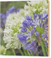 Striking Blue And White Agapanthus Flowers Wood Print