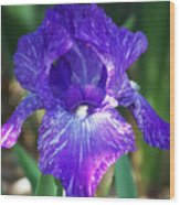 Striped Blue Iris Wood Print