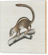 Striped Bush Squirrel, Paraxerus Flavovittis Wood Print