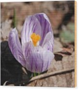 Striped Crocus Wood Print