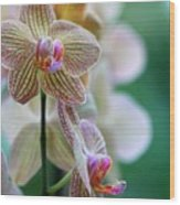 Striped Orchid 1 Wood Print