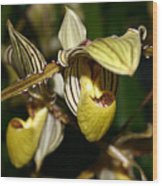 Striped Orchid Wood Print