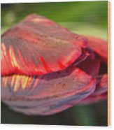 Striped Red Tulip Wood Print