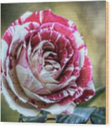 Striped Rose  Wood Print
