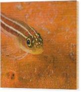 Striped Triplefin Helcogramma Striata Wood Print