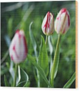Striped Tulips In Spring Wood Print