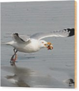 Stripped Billed Gull With Shell Wood Print