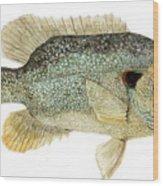 Study Of A Green Sunfish Wood Print