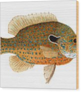 Study Of A Longear Sunfish Wood Print