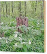 Stump By The Trilliums Wood Print