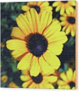 Stunning Black Eyed Susan  Wood Print