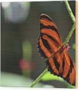 Stunning Orange And Black Oak Tiger Butterfly In Nature Wood Print