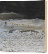 Substrate-sifting Diamond Watchman Goby Pair Wood Print