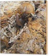 Sugarloaf Snail Wood Print