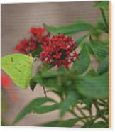 Sulphur Butterfly On Red Flower Wood Print