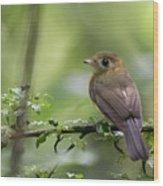 Sulphur-rumped Flycatcher Wood Print