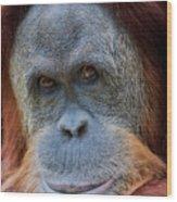 Sumatra Orangutan Portrait Wood Print