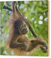 Sumatran Orangutan Pongo Abelii Baby Wood Print by Suzi Eszterhas