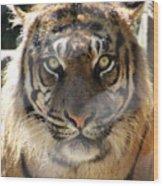 Sumatran Tiger-1440 Wood Print