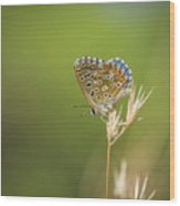 Summer, Adonis Blue Butterfly, Polyommatus Bellargus Basking In Sun. Andalusia, Spain. Wood Print