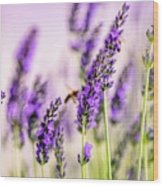Summer Lavender  Wood Print