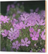 Summer Phlox Wood Print