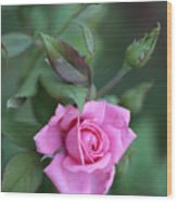 Summer Sweet Rose Wood Print