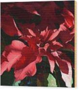 Sun Blushed Poinsettia  Wood Print