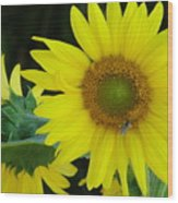 Sun Flower And Honey Bee Wood Print