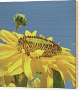 Sun Flowers Summer Sunny Day 8 Blue Skies Giclee Art Prints Baslee Troutman Wood Print