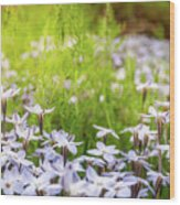 Sun-kissed Meadows With White Star Flowers Wood Print
