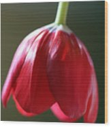 Sun Kissed Tulip II Wood Print