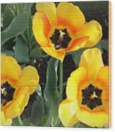 Tulips Kissed By The Sun Wood Print