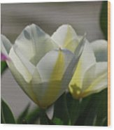 Sun Shining On A Flowering White Tulip Flower Blossom Wood Print
