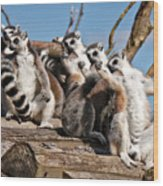 Sunbathing Ring-tailed Lemurs Wood Print