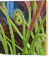 Sundew Drosera Capensis 3 Wood Print