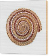 Sundial Shell Wood Print
