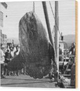 Sunfish Mola Mola On Monterey's Wharf Two June 20 1946 Wood Print