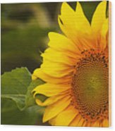 Sunflower-1 Wood Print