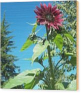 Sunflower 113 Wood Print