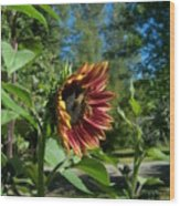 Sunflower 136 Wood Print