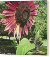 Sunflower 143 Wood Print