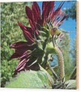 Sunflower 144 Wood Print