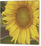 Sunflower-2 Wood Print
