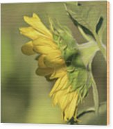 Sunflower 2016-1 Wood Print