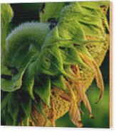 Sunflower 2017 14 Wood Print