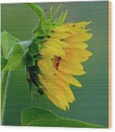 Sunflower 2017 2 Wood Print