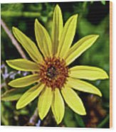 Sunflower Along Etiwanda Falls Trail In San Gabriel Mountains-california  Wood Print