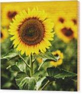 Sunflower Crops On A Farm In South Dakota Wood Print