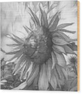 Sunflower Dawn Black And White Drawing Wood Print